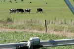 cattle grazing on land irrigated by center Pivots