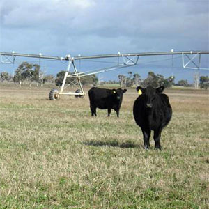 cows grazing under Pivot irrigation fields