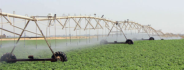 watering certified seed potatoes